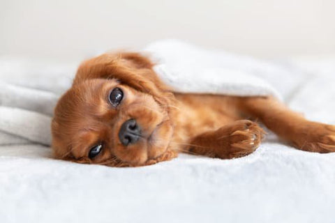 Spaniel Puppy laying on a white bed