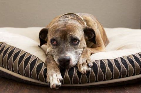 Old graying dog laying on a round dog bed looking sad