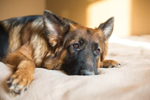 German Shepherd laying on a dog bed looking sad