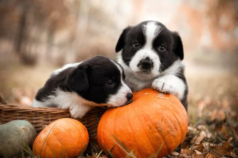Two border collie puppies in a basket with pumpkins laying around them in a park