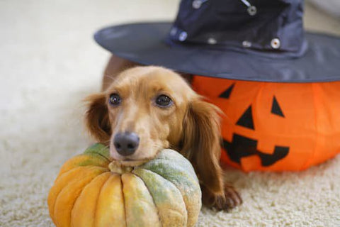Dachshund resting its head on a pumpkin with Halloween decorations around