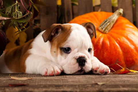 Bulldog Puppy laying next to a pumpkin on halloween