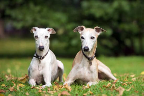 Two white Greyhounds laying in a park with fall leaves around