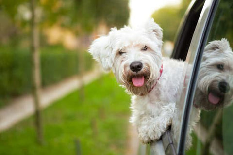 Small fluffy white dog leaning out a car window in a neighborhood