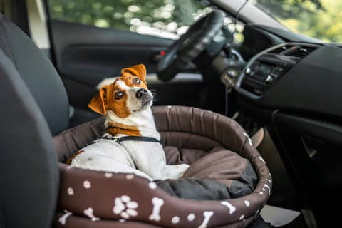 Terrier laying in a dog bed in the passenger seat of a car getting ready for a car ride