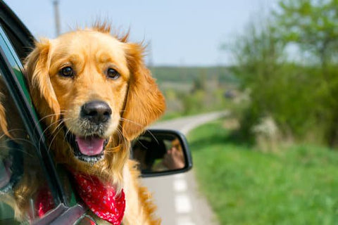 Golden Retriever with a red bandanna leaning out a car window on a trip