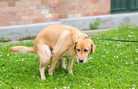 Yellow Lab pooping in grass in front of a building