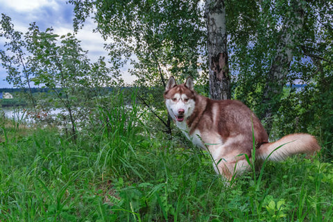 Blond Husky having a loose stool in front of a lake