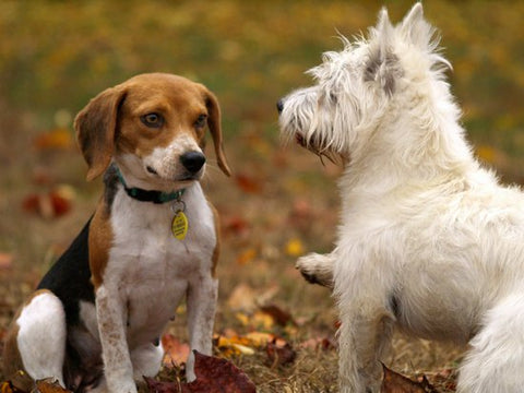 Beagle looking afraid of a white hairy terrier on a fall day