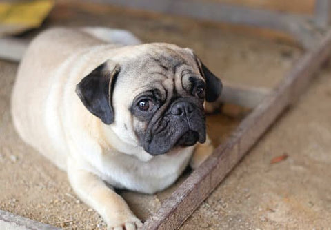 Scared looking pug laying outside
