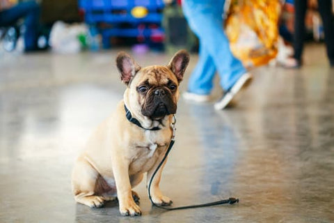 French bulldog sitting in a busy location looking scared