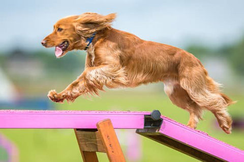 Long haired spaniel running over a dog balance ramp with its tongue out