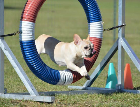 White french bulldog leaping through a ring jump obstacle