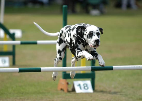 Dalmatian jumping over a jump obstacle at a agility course