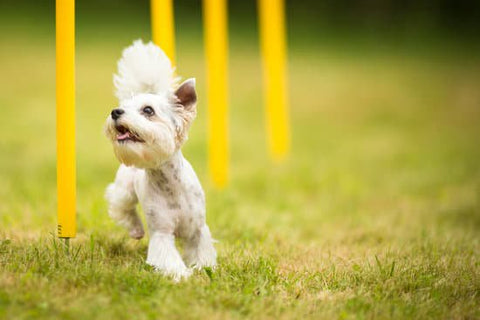 Small white dog happily running through yellow weave poles
