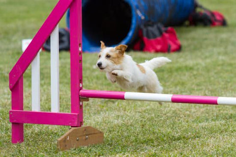 Small Terrier Leaping over a pink jump bar at a dog agility park