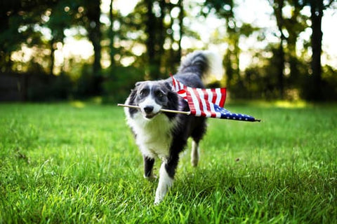Border collie carrying a flag in its mouth on the fourth of July