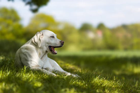 White Lab laying in the shade of a tree on a hot sunny day