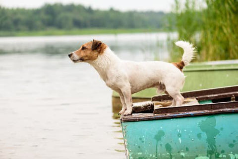 Terrier on the front of a boat looking at the water