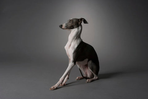 Italian Greyhound looking like it is scooting with a grey background