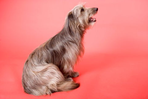 Long haired dog scooting with a pink background