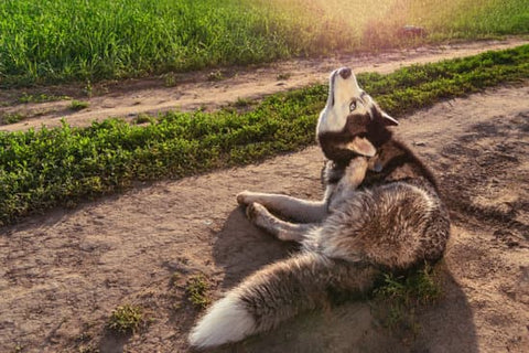 Husky itching its ear on a dirt road during a sunset