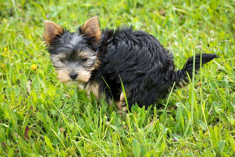 Small yorkie pooping in a grassy yard