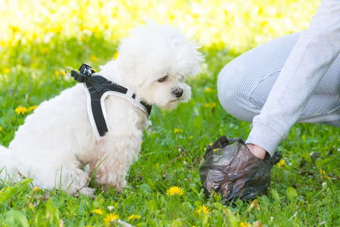 White fluffy dog in a harness watching its owner picking up its poop