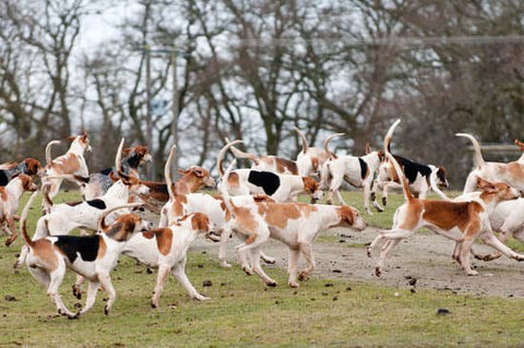English Foxhound pack running in a group