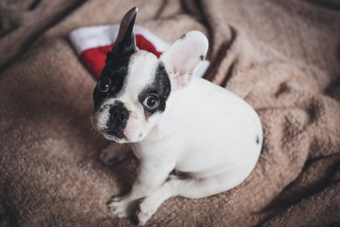 French Bulldog Puppy Sitting On A Bed With A Santa Hat
