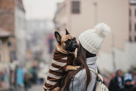 Brown French Bulldog With Black Accents in a brown stripped sweater on a cold day