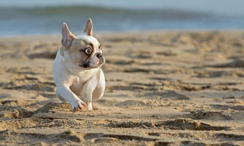 Startled French Bulldog running on the beach