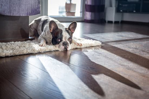 Black And White French Bulldog Laying On A Shaggy Carpet In the Sunlight