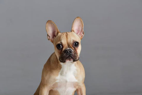 Golden French Bulldog sitting still for a photo with a gray background