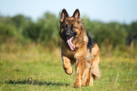 German shepherd running through grass panting on a sunny day