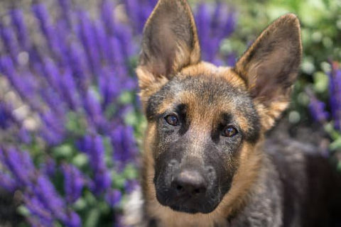 Young German Shepherd in front of purple flowers looking at the camera