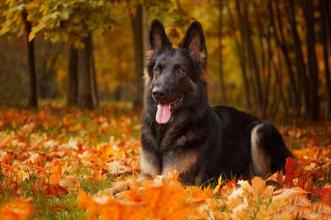 Darker German Shepherd laying in fall leaves with trees around