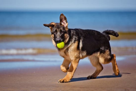 German Shepherd running on the beach with a tennis ball in its mouth