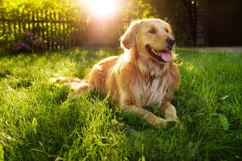 Golden retriever laying in a grassy yard on a sunny day