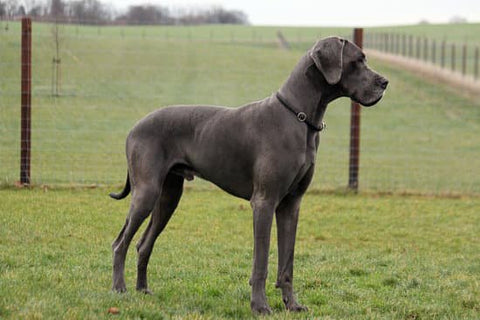 The Great Dane What You Need To Know As An Owner Sitstay