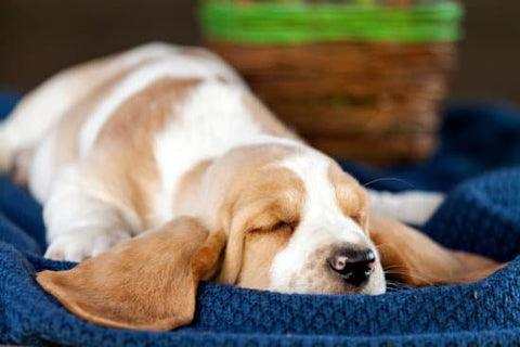 Hound dog sleeping with its ears flopped down