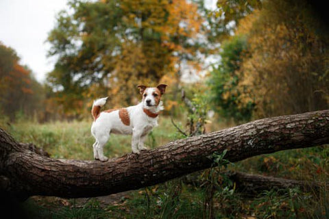Terrier in the woods standing on a low tree branch