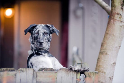 Black spotted dog standing at a fence looking at the camera