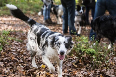 Collie walking with a pack in the fall woods