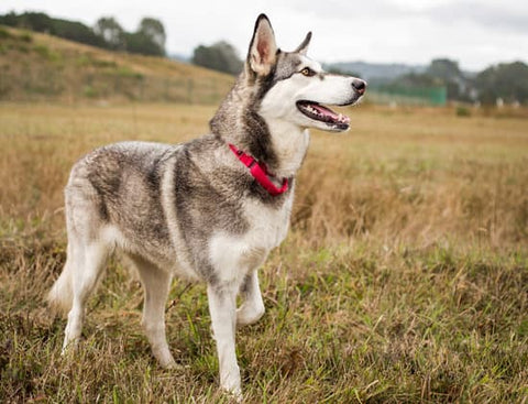 Siberian Husky with a red collar standing at attention in a fall field