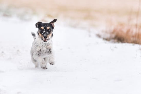 Small Terrier running through the snow towards the camera