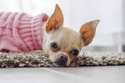 White chihuahua in a pink sweater laying on a rug with its ears perched