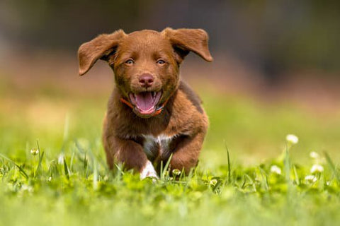 Brown puppy with floppy ears running through a grassy field