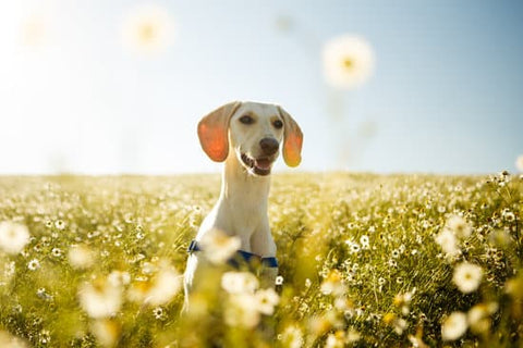 White big eared dog in a field of dandelions