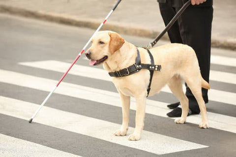 Yellow lab guide dog walking across the crosswalk with their companion